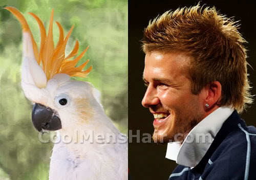 Photo of cockatoo hairstyle.