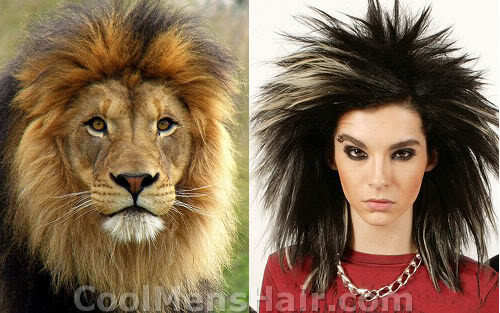 Lion hair picture.